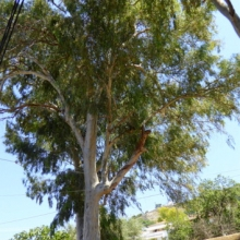 Australian eucalypts - at a guess, planted by Oz expats in the late 50s