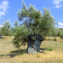 This olive tree must be hundreds of years old